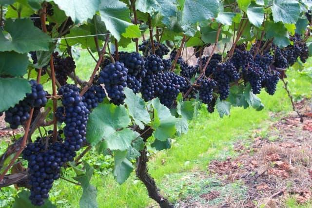 北海道ワインのぶどう品種