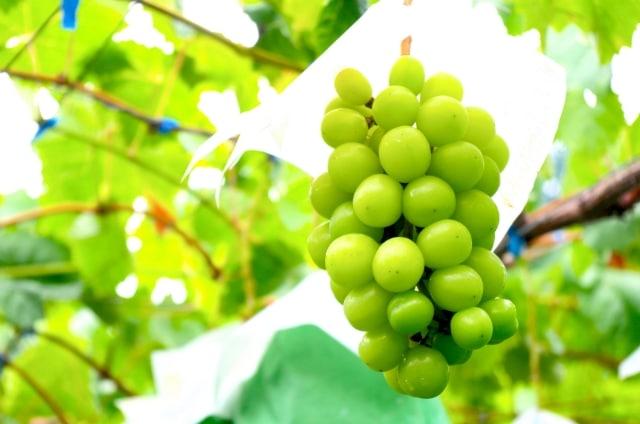 モスカートのおすすめワイン5選【品種の特徴や産地も紹介】
