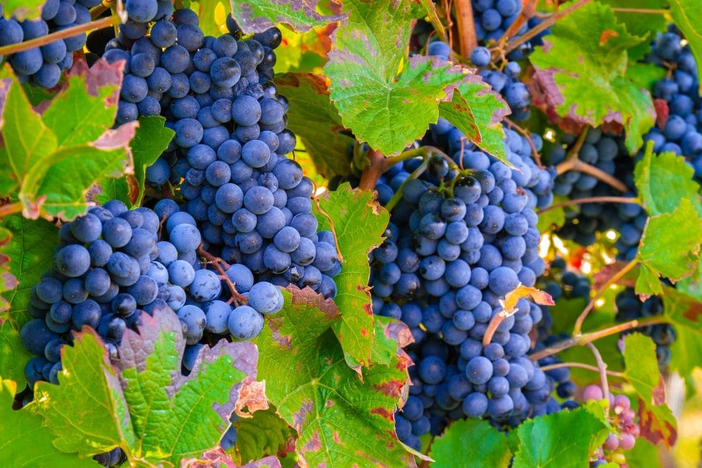 果実味と酸の豊かなバルベラ おすすめワイン7選【特徴、代表的な産地、合う料理も解説】