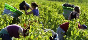 シャンパーニュの収穫